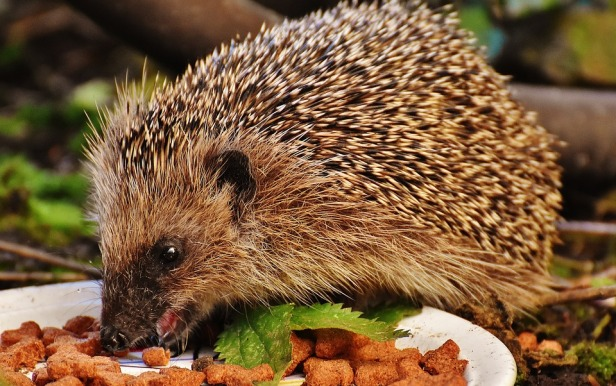 hedgehog-child-1777957_960_720