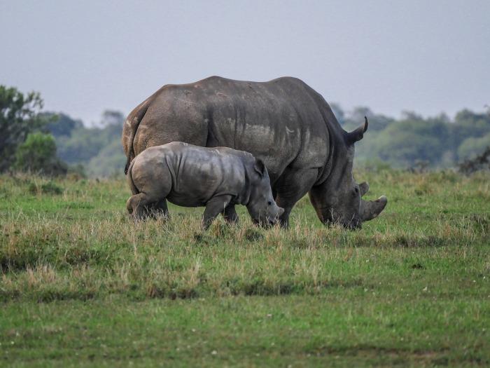 rhino-2675891_1280