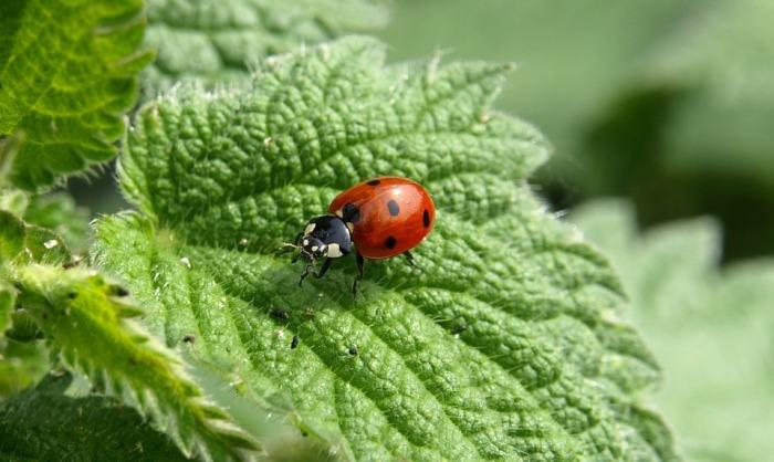 ladybug-349456_960_720