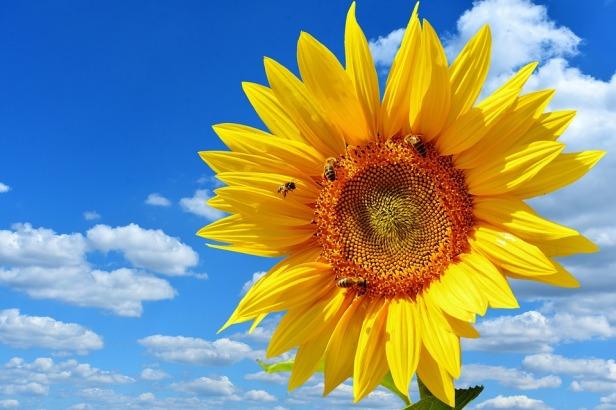 sun-flower-2656285_960_720