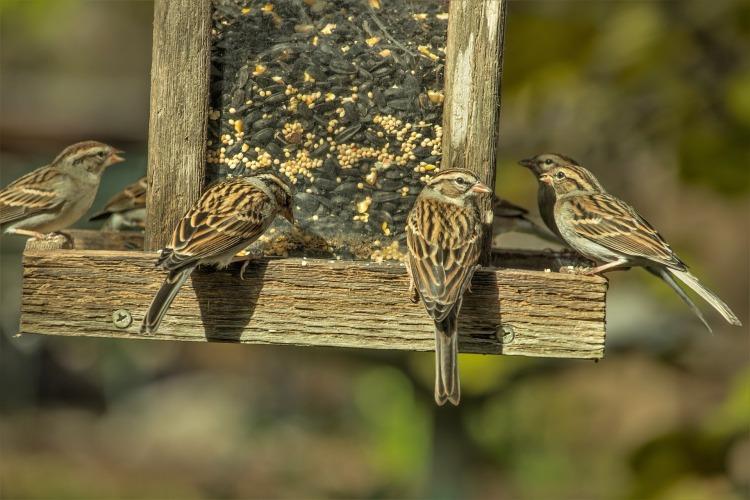 sparrows-3881399_1920.jpg