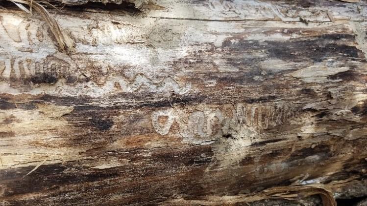 Beetle damage – Patterns in bark