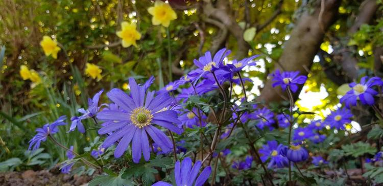 Anemone blanda in front of daffodils