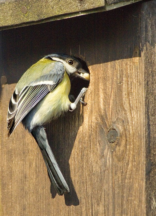 great-tit-1164947_960_720